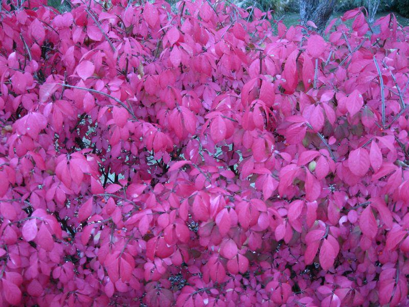 Fall Foliage Red