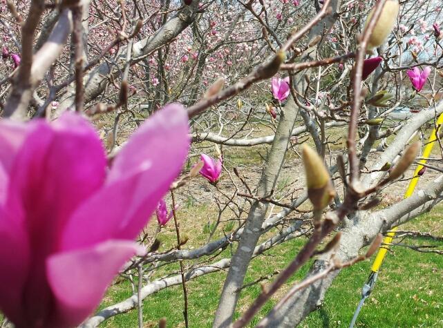 Hot pink spring begins