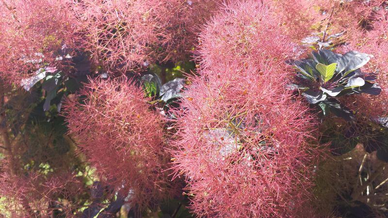 Fuzzy pink plant