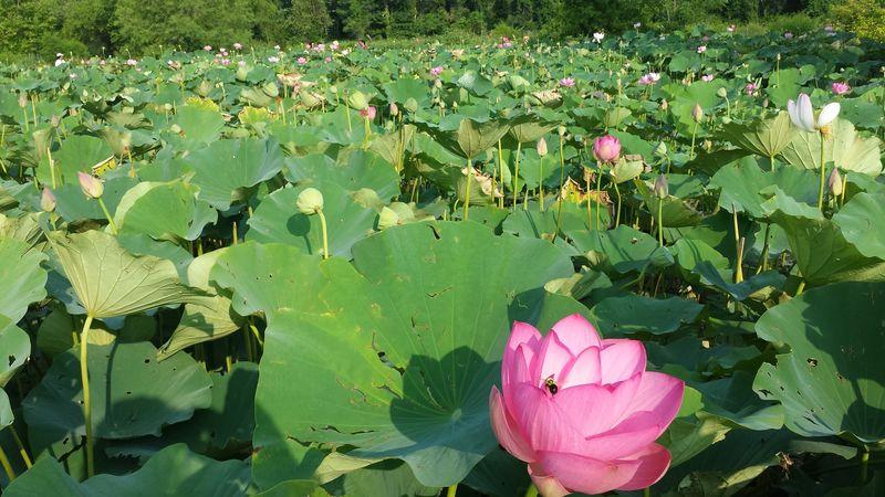 Field of lotuses