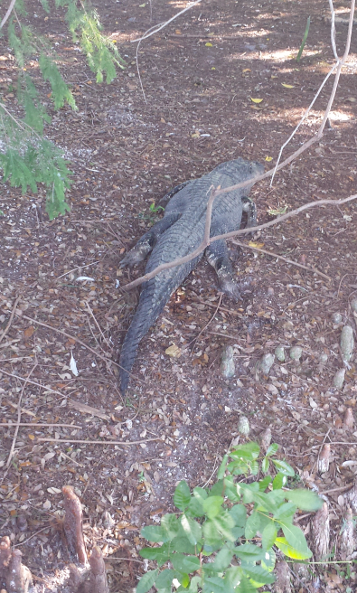 Alligator at rest